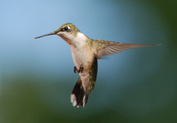 ArchitectureRuby-throated_Hummingbird.jpg