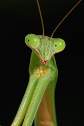 Architecturepraying_mantis_pose.jpg
